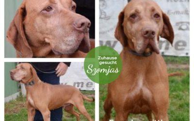 Szomjas   UK-Rüde, 9 Jahre