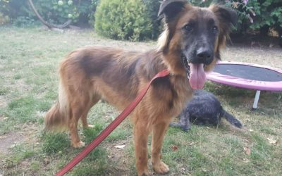 Barka | Leonberger-Malinois-Mix | 1 Jahr