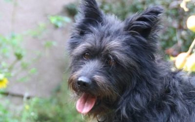 Morci | Cairn-Terrier-Mix | 3 Jahre