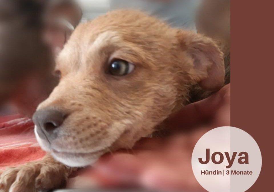 Joya | Mix-Hündin | 3 Monate