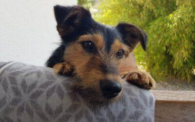 Tercsi | Terriermischlingshündin | 9 Monate