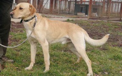 Paddy | Labrador-Mischling | 2 Jahre