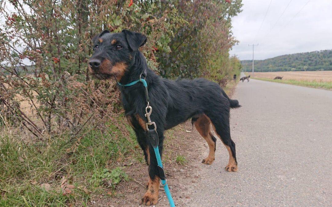 Merlin | Jagdterrier | 2 Jahre