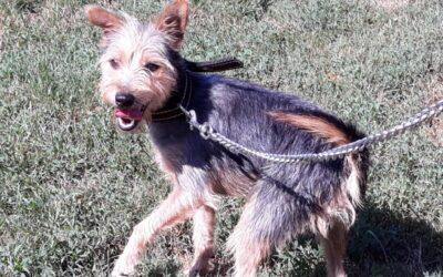 Boy | Yorkshire-Terrier-Mischling | 1 Jahr