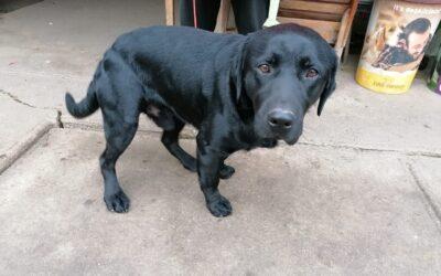 Dante | Labrador-Rüde | 1 Jahr