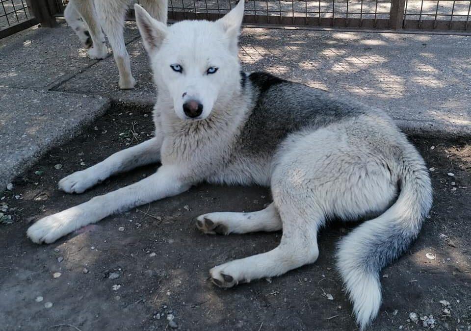 Olina | Husky-Hündin | 9 Monate