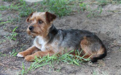 Bingo | Yorkshire Terrier | 2 Jahre