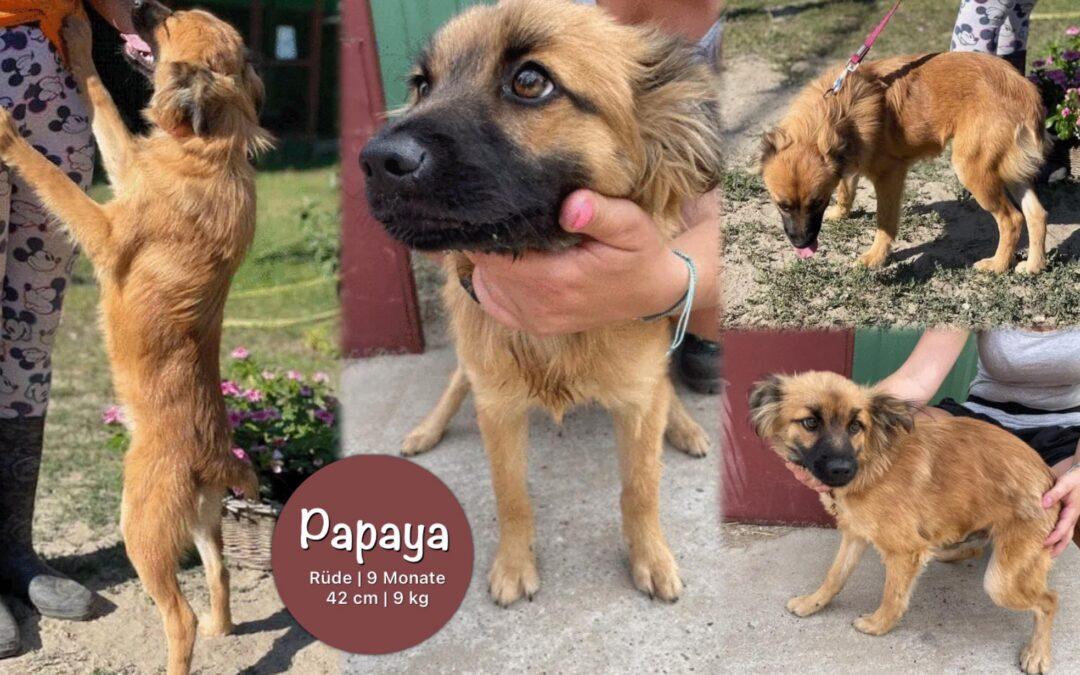 Papaya | Spitz-Papillon-Mix | 9 Monate