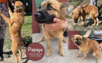 Papaya   Spitz-Papillon-Mix   9 Monate