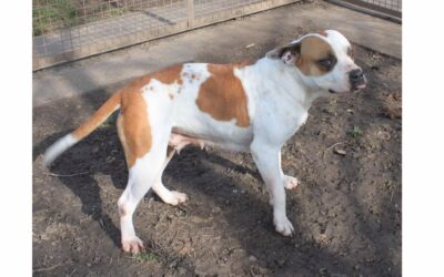 Vica   American Bulldog   5 Jahre