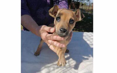 Paya   Chihuahua-Mischlings-Rüde   3 Monate
